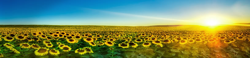 School info picture - sunflower fields